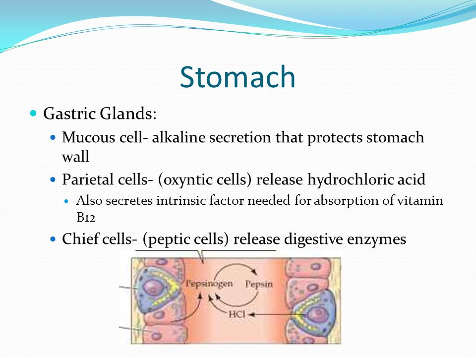 Stomach Gastric Glands: