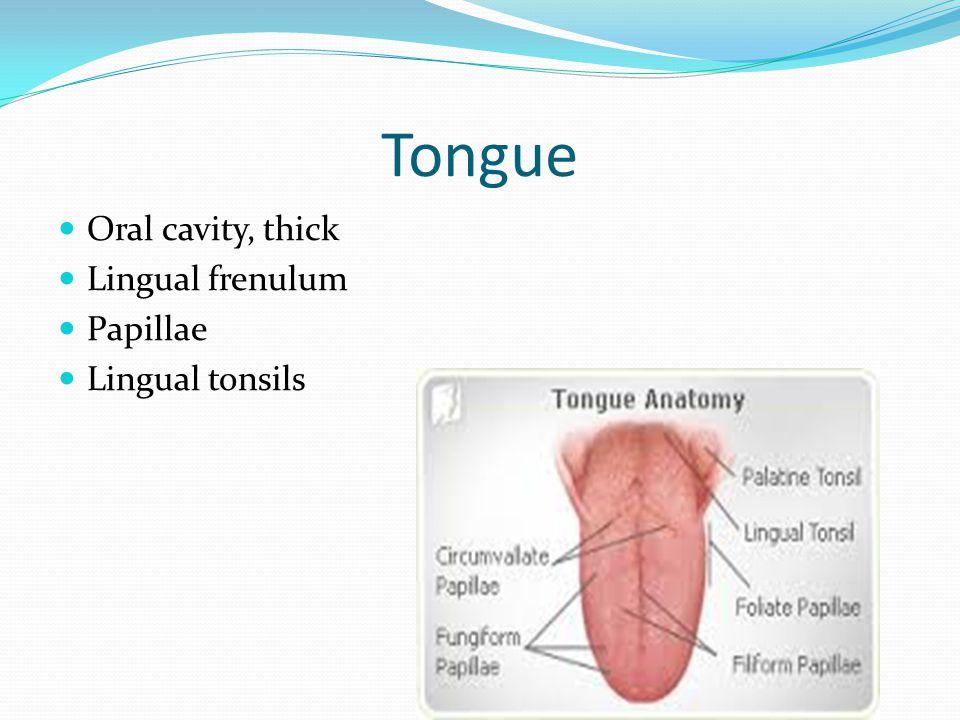 Tongue Oral cavity, thick Lingual frenulum Papillae Lingual tonsils