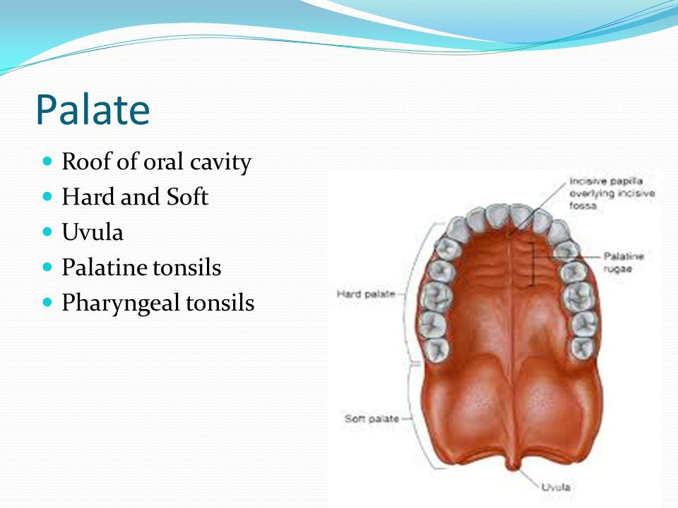 Palate Roof of oral cavity Hard and Soft Uvula Palatine tonsils