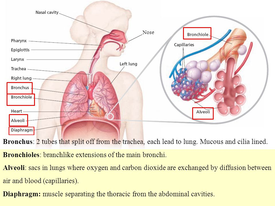 Bronchioles: branchlike extensions of the main bronchi.