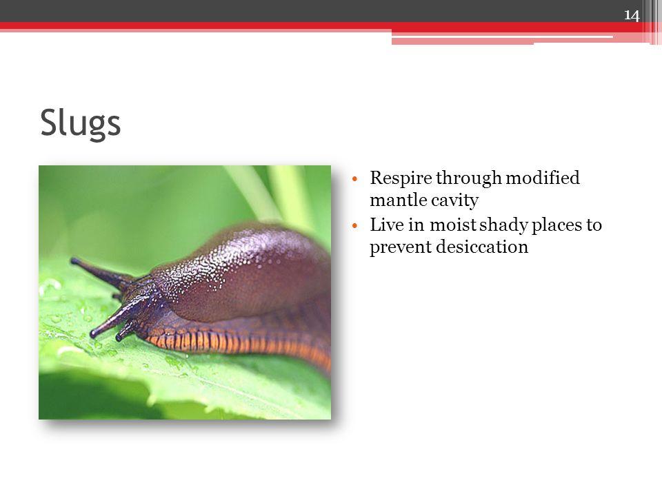 Slugs Respire through modified mantle cavity