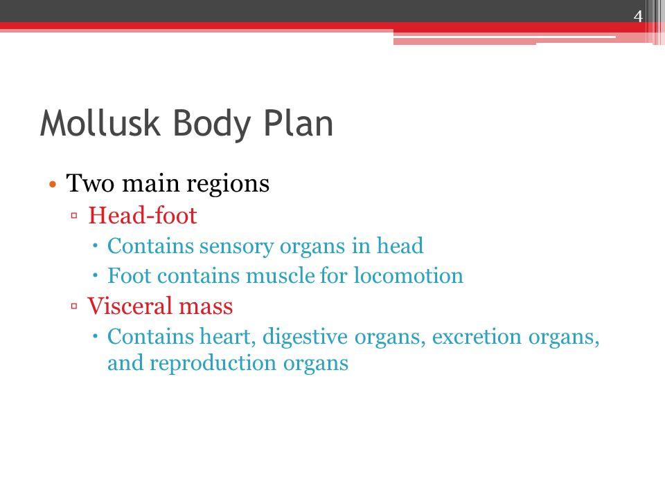Mollusk Body Plan Two main regions Head-foot Visceral mass