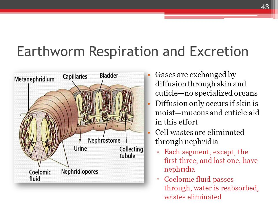 Earthworm Respiration and Excretion