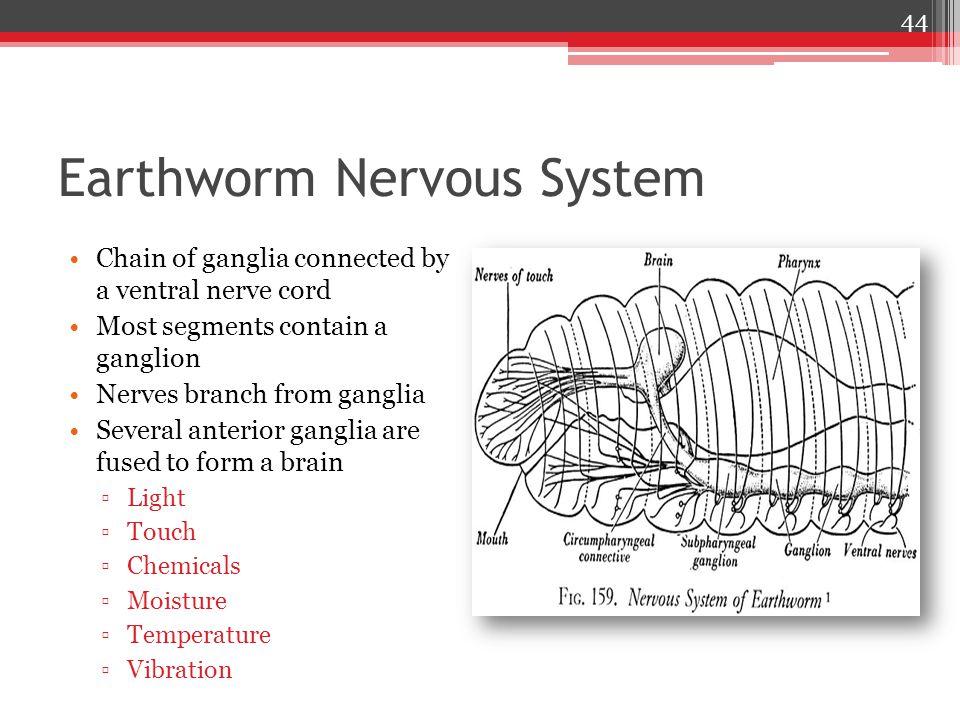 Earthworm Nervous System