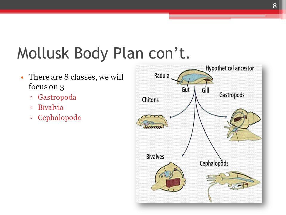 Mollusk Body Plan con't.