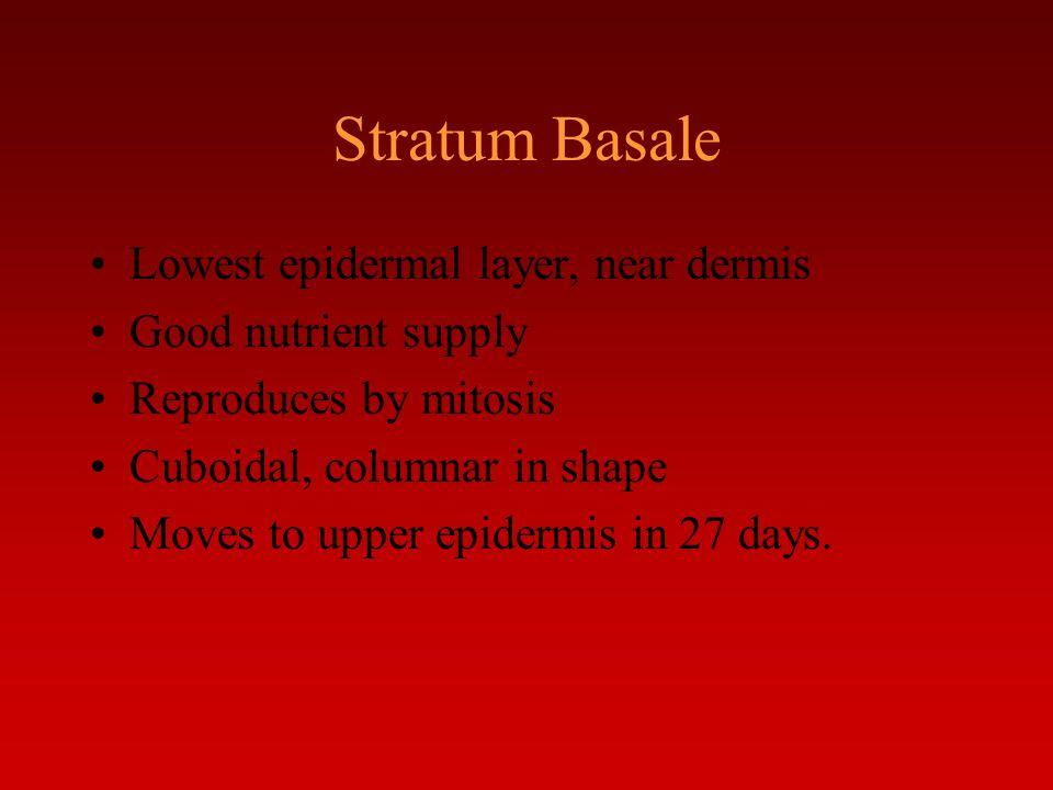 Stratum Basale Lowest epidermal layer, near dermis