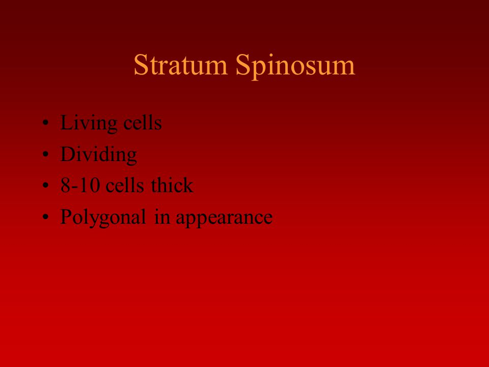 Stratum Spinosum Living cells Dividing 8-10 cells thick