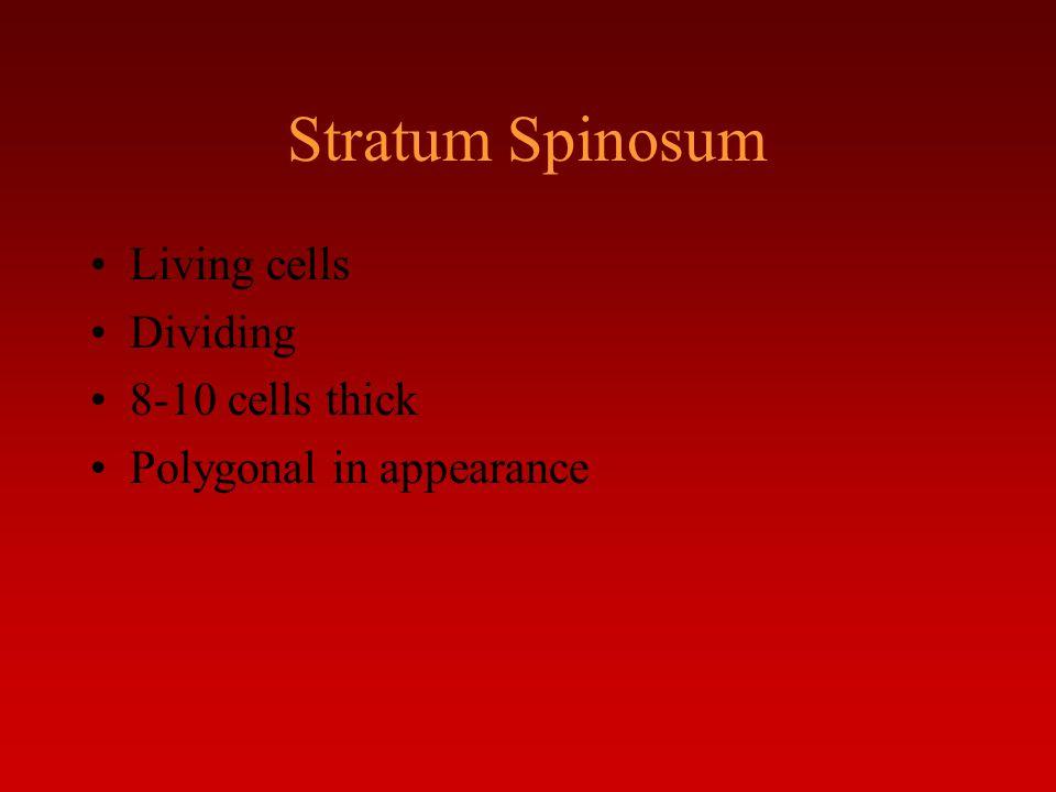 Stratum Spinosum Living cells Dividing 8-10 cells thick
