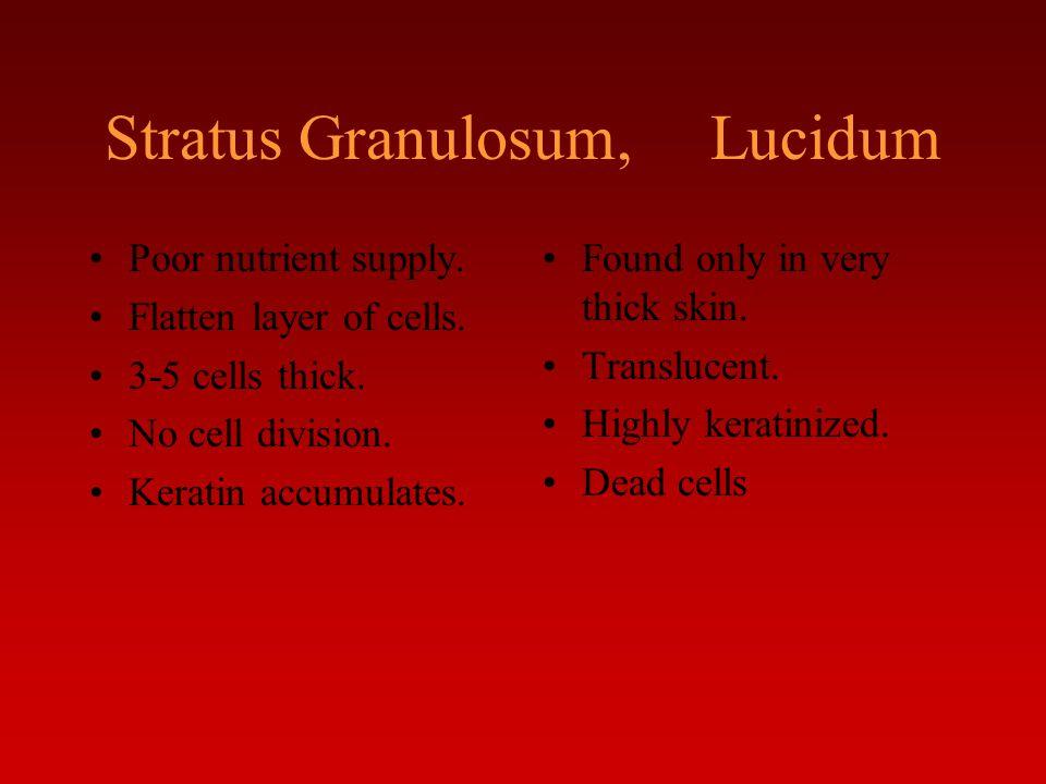 Stratus Granulosum, Lucidum