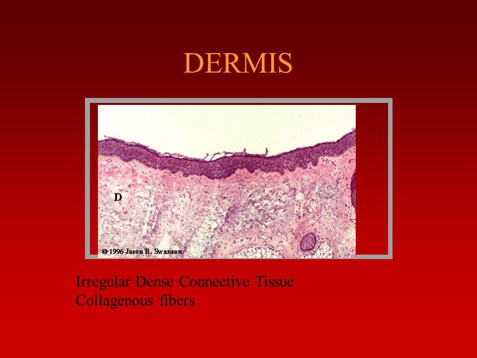 DERMIS Irregular Dense Connective Tissue.