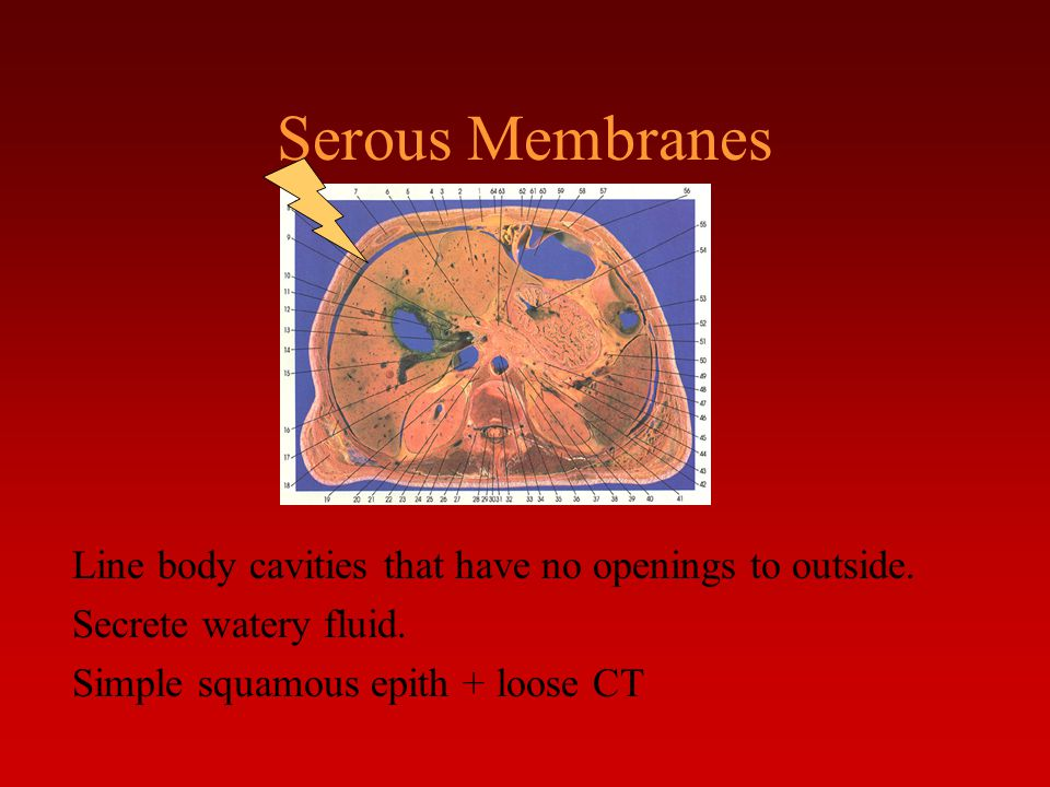 Serous Membranes Line body cavities that have no openings to outside.