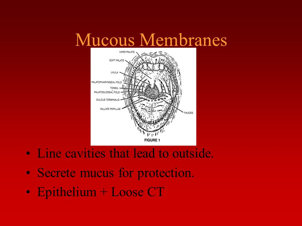 Mucous Membranes Line cavities that lead to outside.