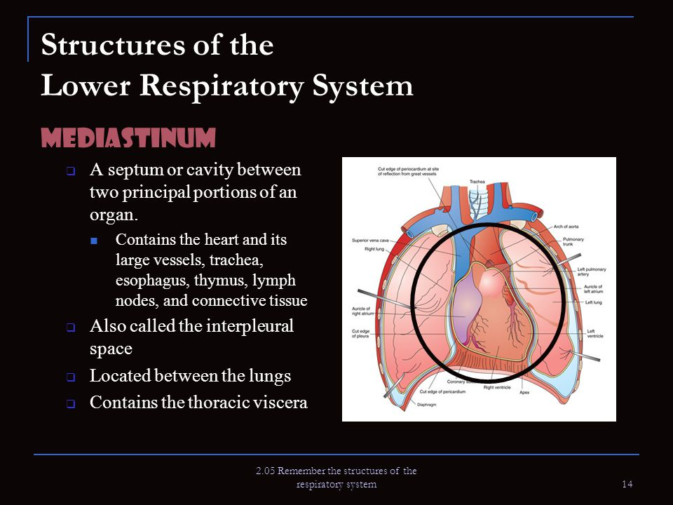 Structures of the Lower Respiratory System