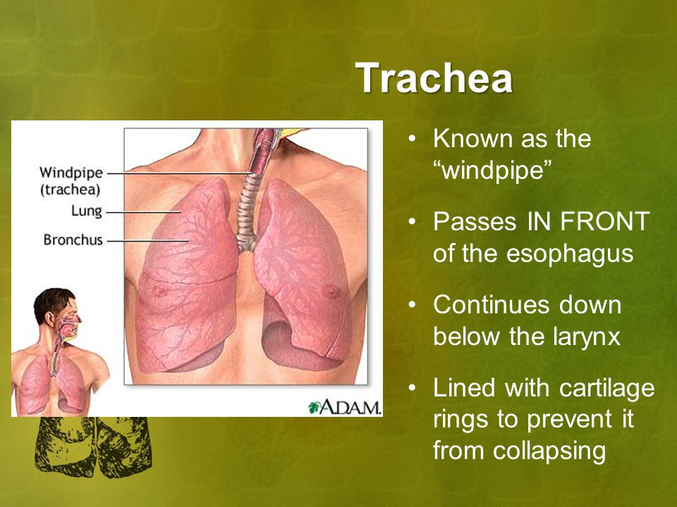 Trachea Known as the windpipe Passes IN FRONT of the esophagus