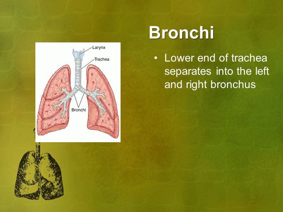 Bronchi Lower end of trachea separates into the left and right bronchus