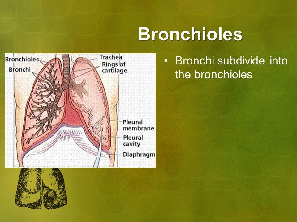 Bronchioles Bronchi subdivide into the bronchioles