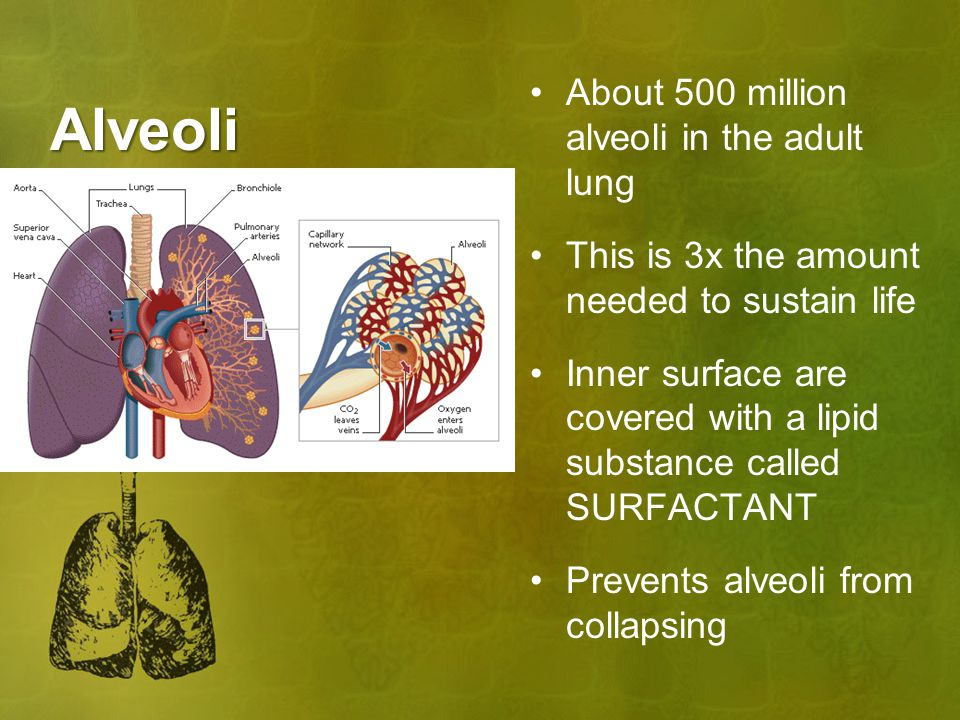 Alveoli About 500 million alveoli in the adult lung