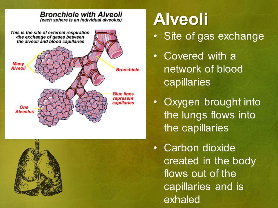 Alveoli Site of gas exchange