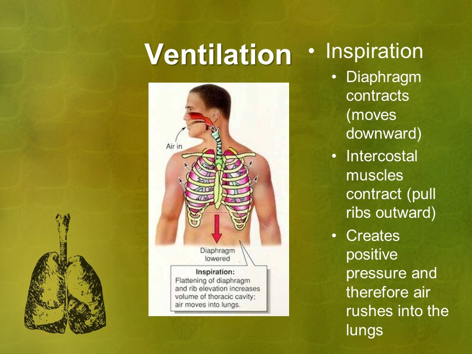 Ventilation Inspiration Diaphragm contracts (moves downward)
