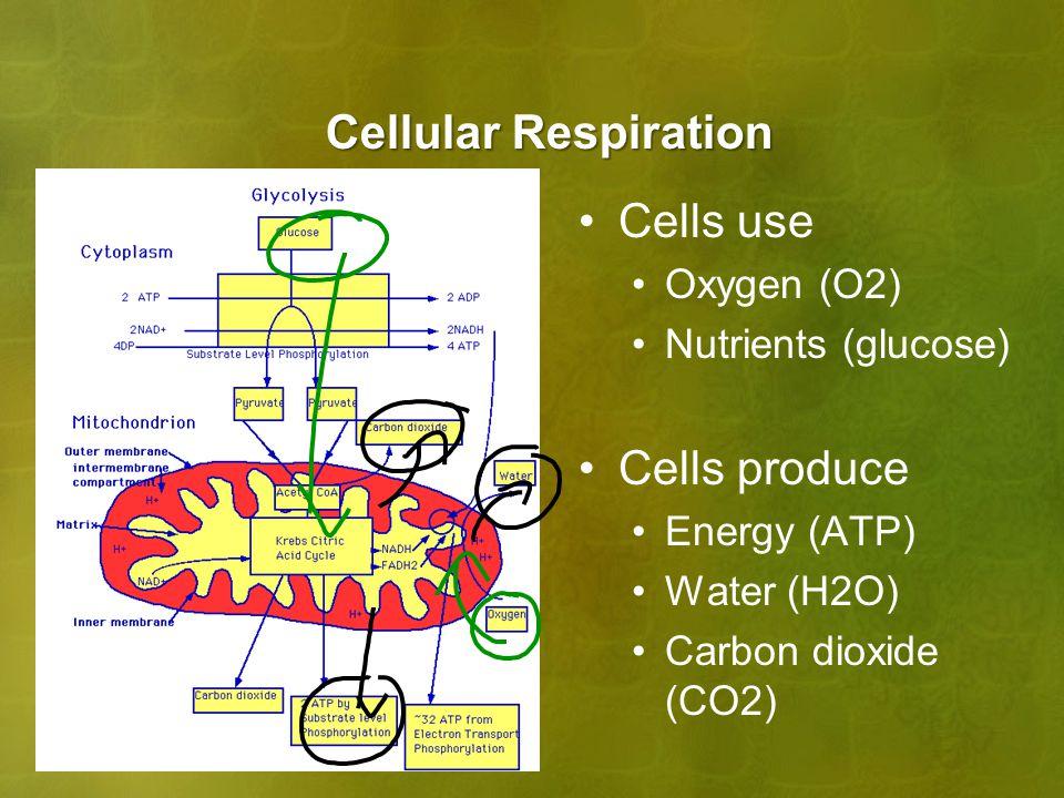 Cellular Respiration Cells use Cells produce Oxygen (O2)