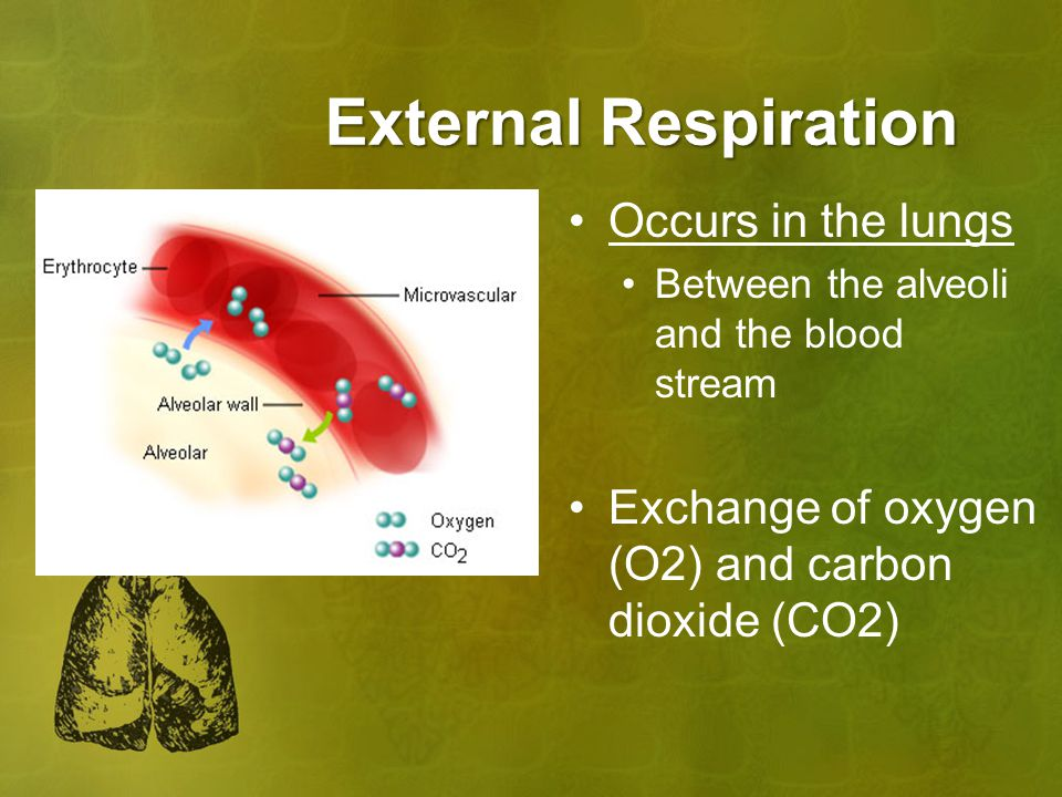 External Respiration Occurs in the lungs