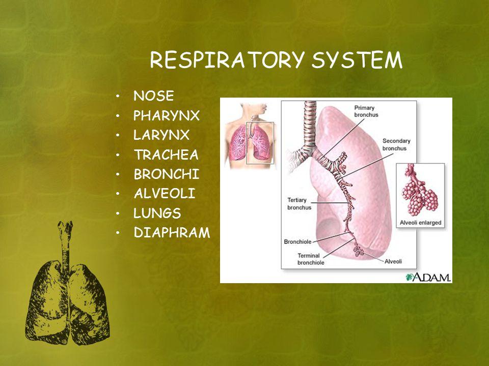 RESPIRATORY SYSTEM NOSE PHARYNX LARYNX TRACHEA BRONCHI ALVEOLI LUNGS