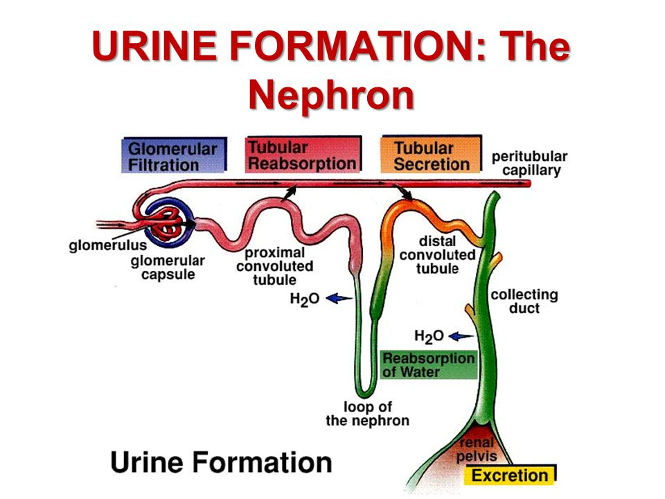 URINE FORMATION: The Nephron