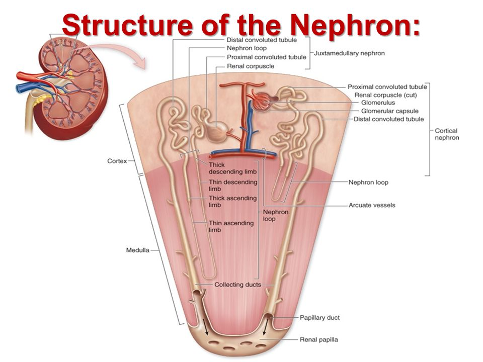 Structure of the Nephron: