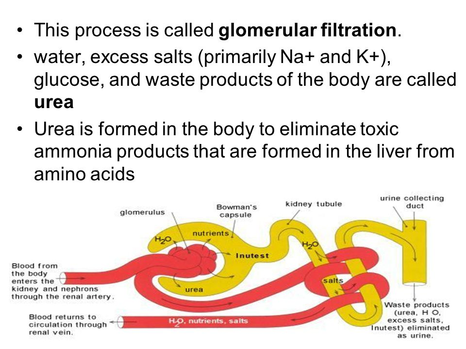 This process is called glomerular filtration.