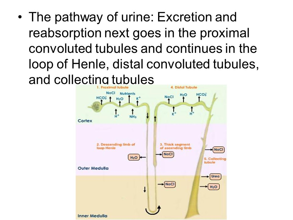 The pathway of urine: Excretion and reabsorption next goes in the proximal convoluted tubules and continues in the loop of Henle, distal convoluted tubules, and collecting tubules