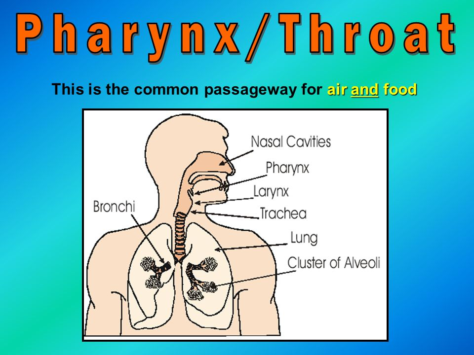 Pharynx/Throat This is the common passageway for air and food