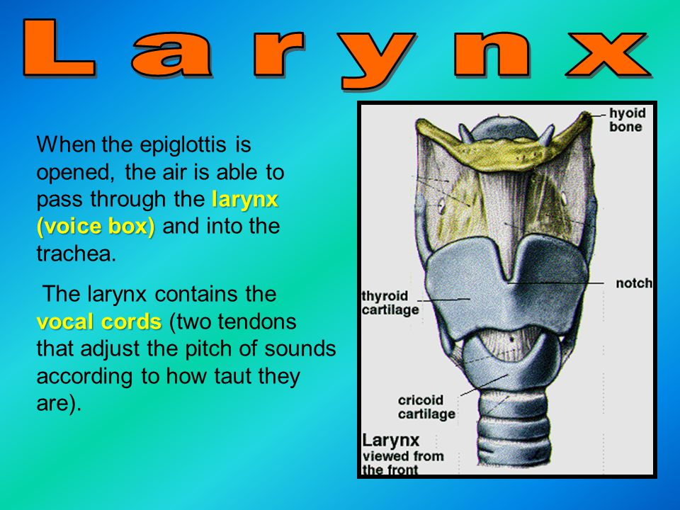 Larynx When the epiglottis is opened, the air is able to pass through the larynx (voice box) and into the trachea.