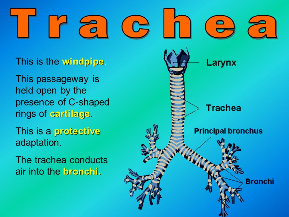 Trachea This is the windpipe.