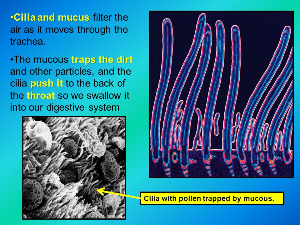 Cilia and mucus filter the air as it moves through the trachea.