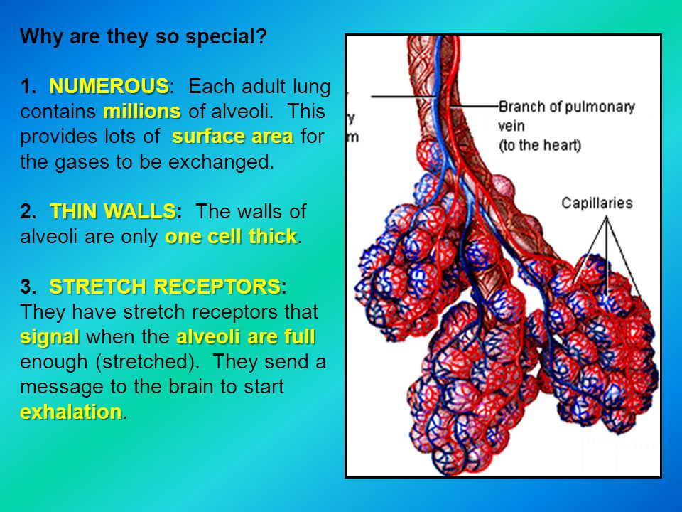 Why are they so special NUMEROUS: Each adult lung contains millions of alveoli. This provides lots of surface area for the gases to be exchanged.