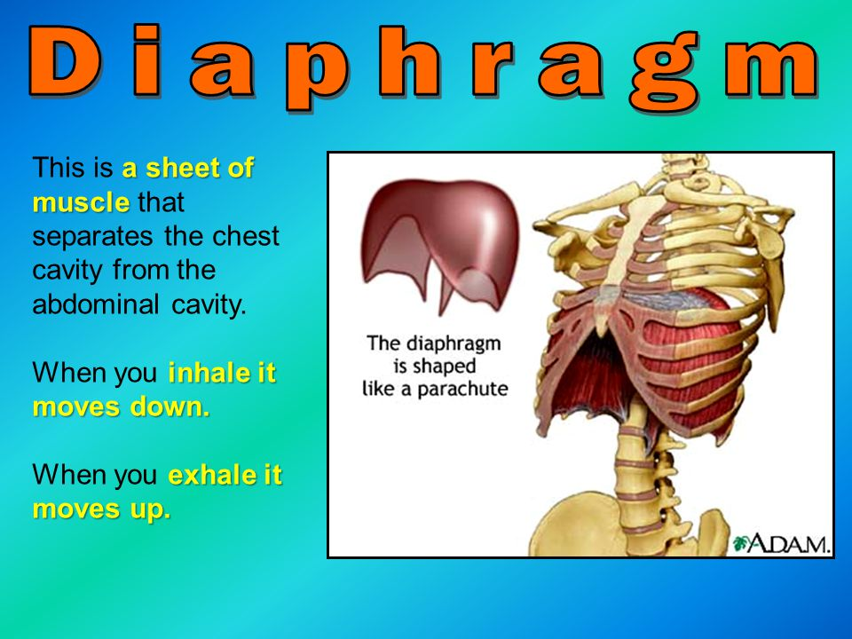 Diaphragm This is a sheet of muscle that separates the chest cavity from the abdominal cavity. When you inhale it moves down.