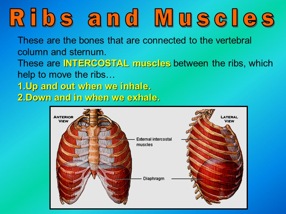 Ribs and Muscles These are the bones that are connected to the vertebral column and sternum.