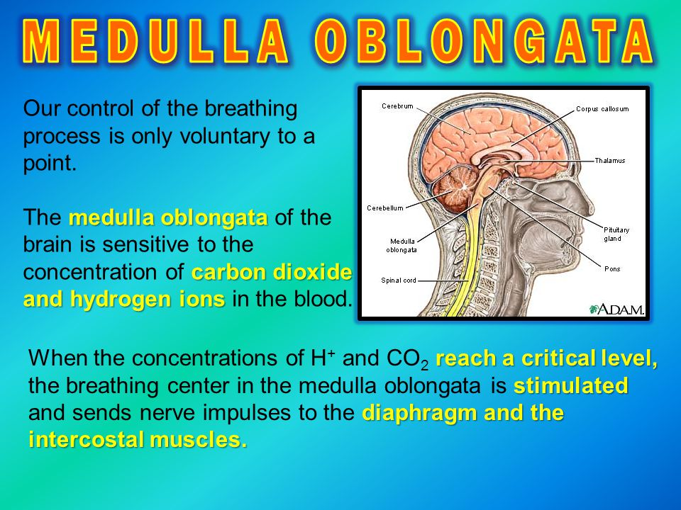 MEDULLA OBLONGATA Our control of the breathing process is only voluntary to a point.