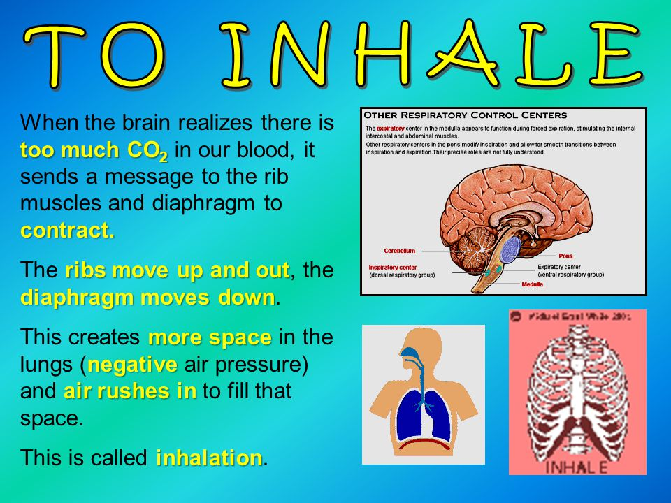 TO INHALE When the brain realizes there is too much CO2 in our blood, it sends a message to the rib muscles and diaphragm to contract.