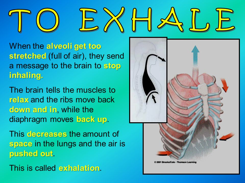 TO EXHALE When the alveoli get too stretched (full of air), they send a message to the brain to stop inhaling.