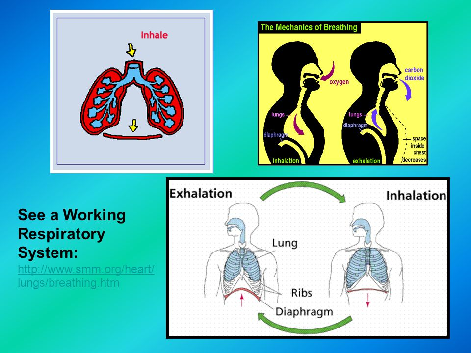 See a Working Respiratory System: http://www. smm