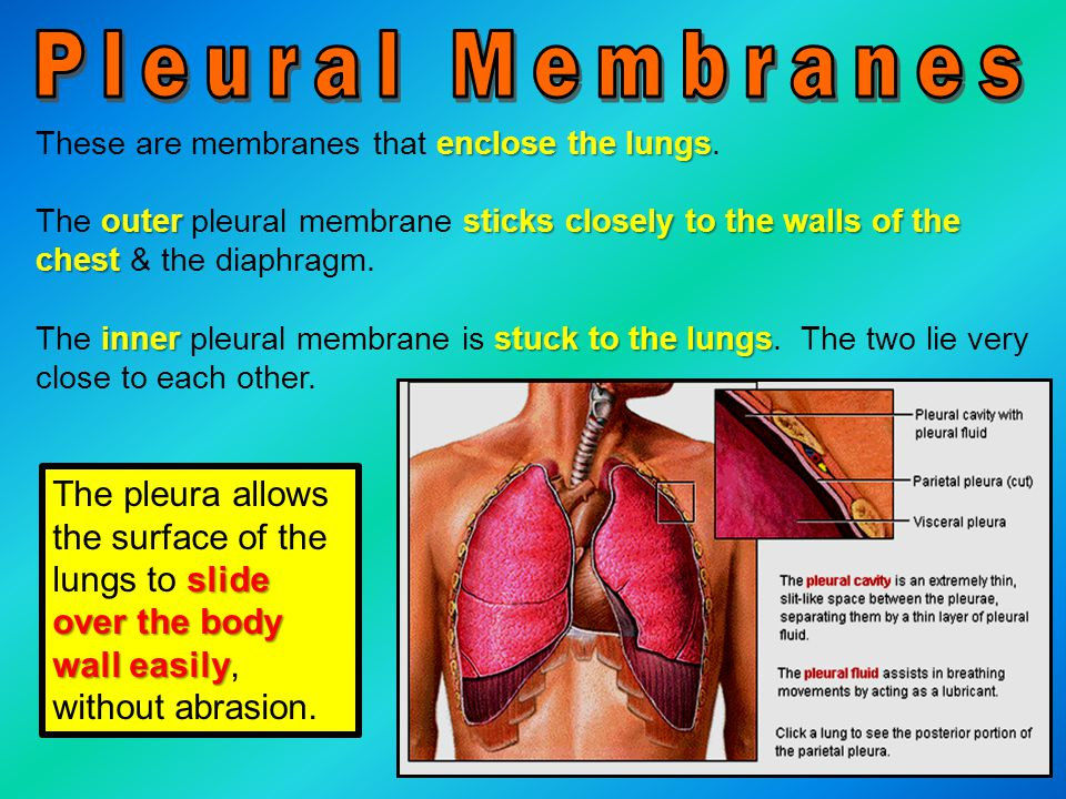 Pleural Membranes These are membranes that enclose the lungs. The outer pleural membrane sticks closely to the walls of the chest & the diaphragm.