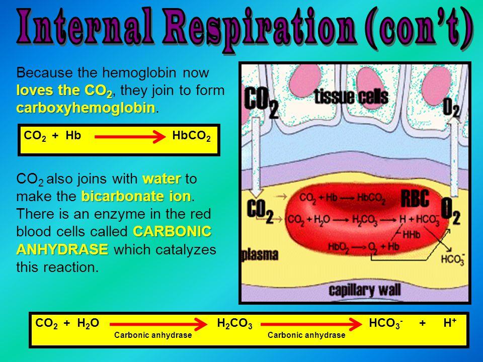 Internal Respiration (con't)