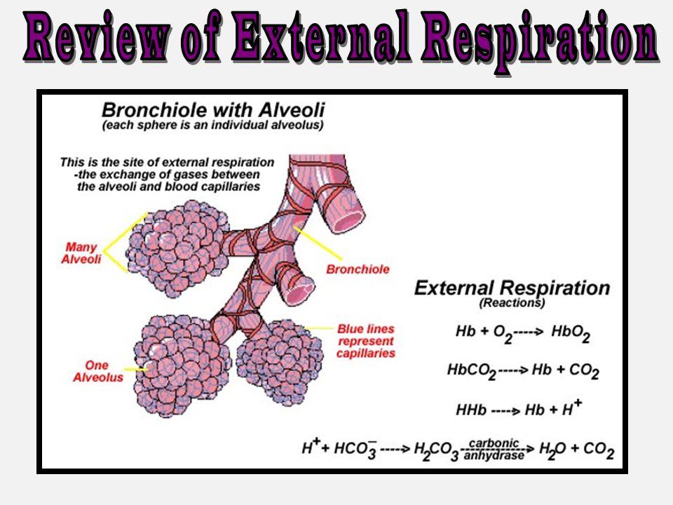 Review of External Respiration