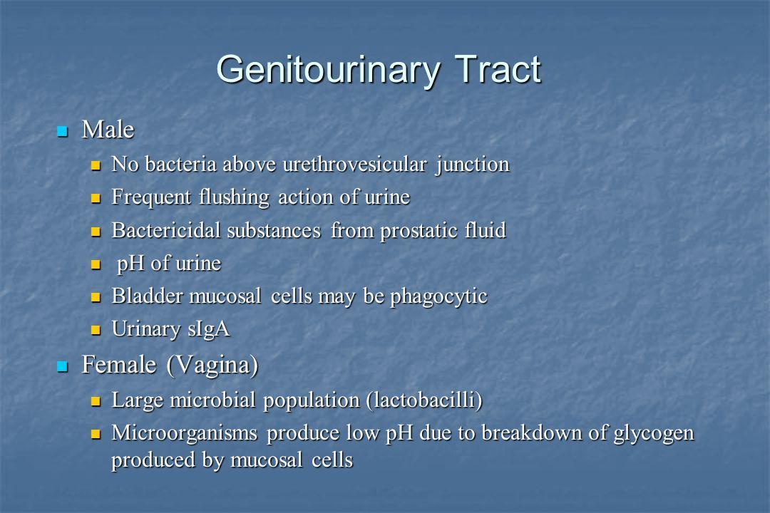 Genitourinary Tract Male Female (Vagina)
