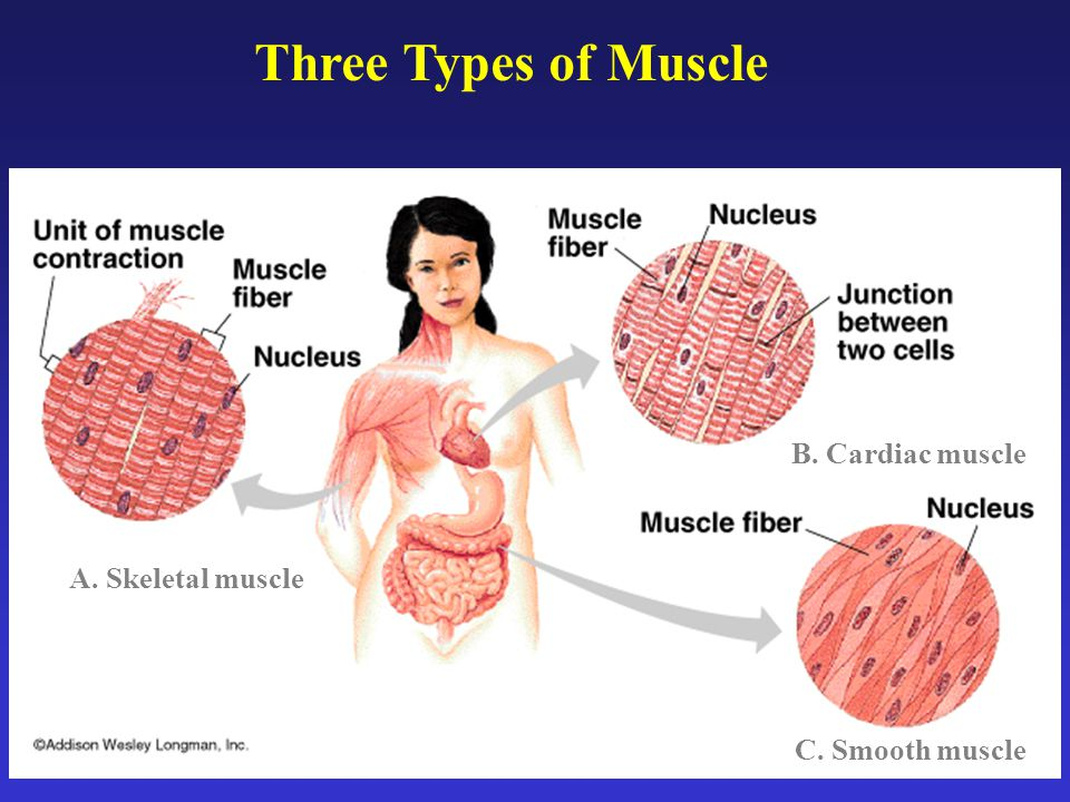 Three Types of Muscle B. Cardiac muscle A. Skeletal muscle