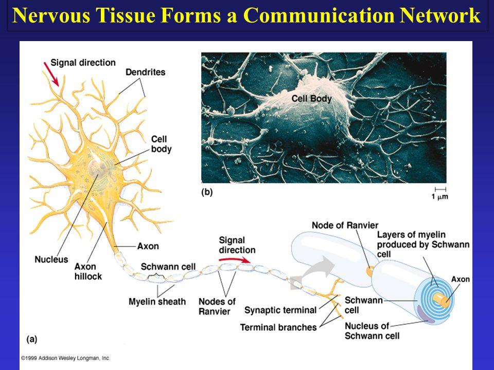 Nervous Tissue Forms a Communication Network