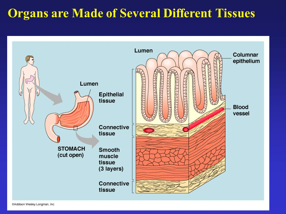 Organs are Made of Several Different Tissues