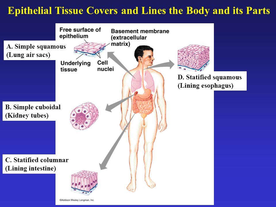 Epithelial Tissue Covers and Lines the Body and its Parts