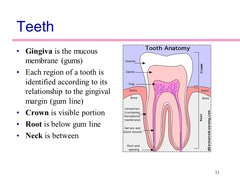 Teeth Gingiva is the mucous membrane (gums)